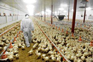 Broiler Chicken Factory Farming / iStock